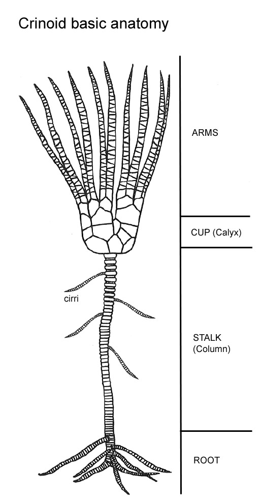 crinoid fossil diagram