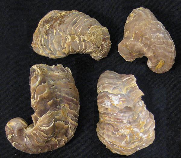 North Texas Fossils - Grayson Marl formation